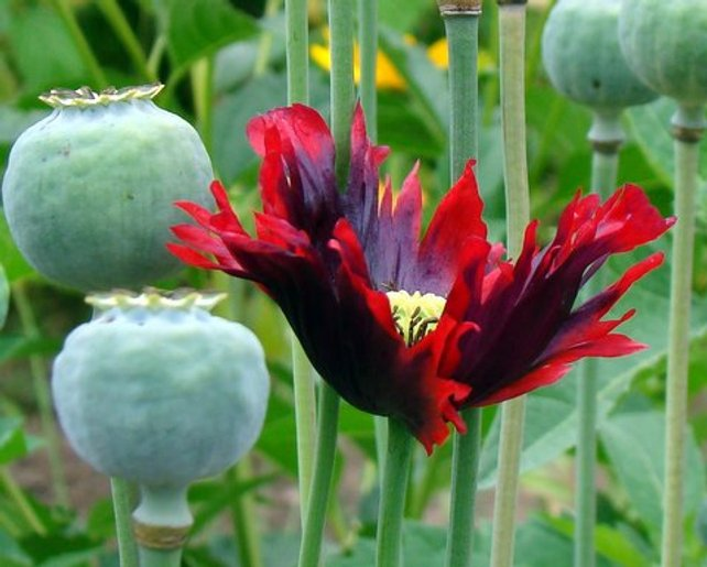 Drama Queen Poppy The Poppy With An Attitude 250 Seeds The