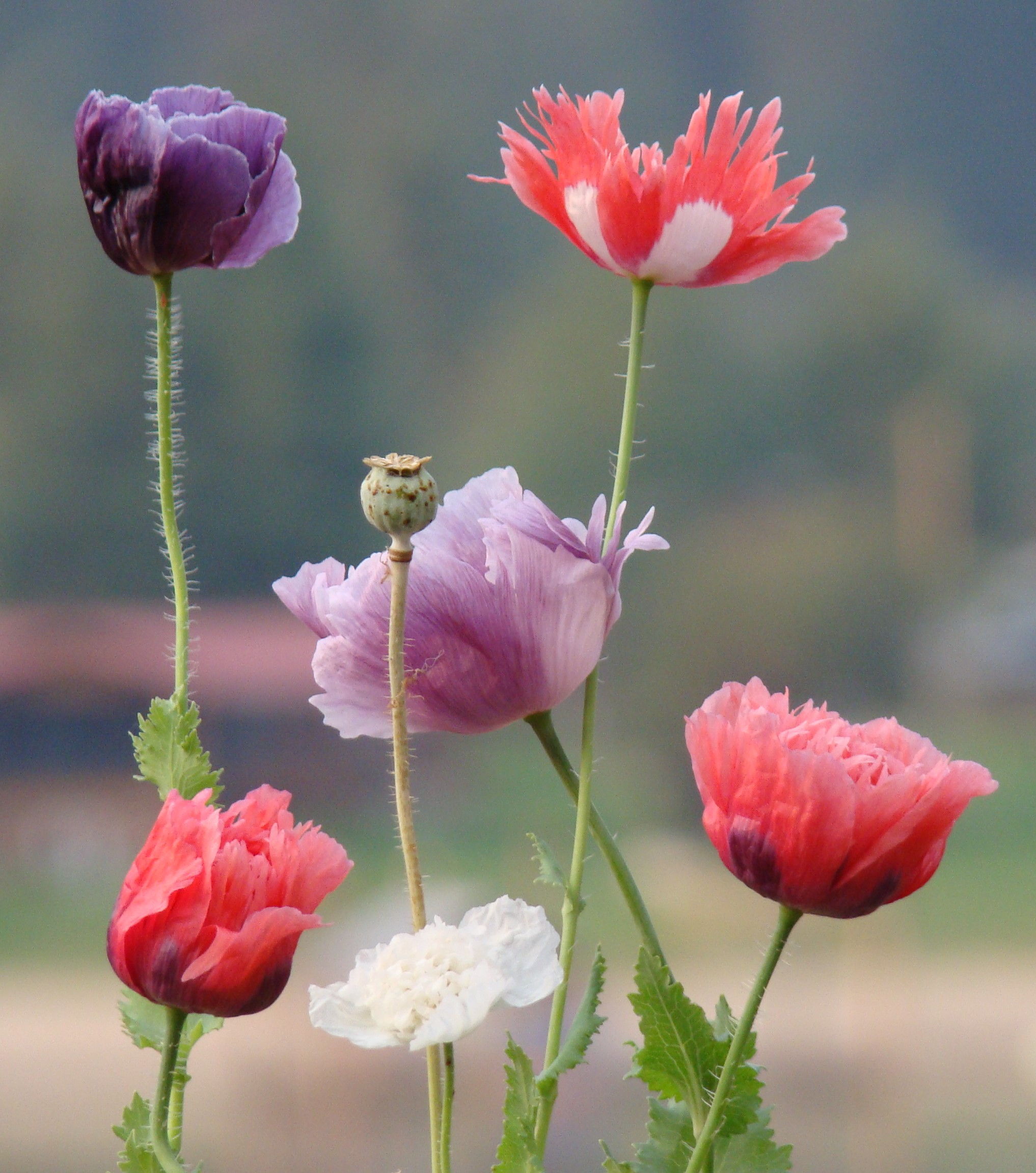 For The Love of Poppies #3 – Growing Poppies in Pots – The